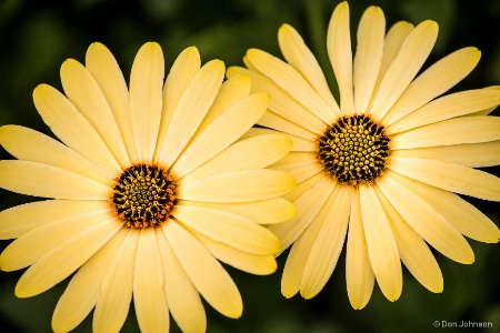 Two African Daisies 1-27-18 257