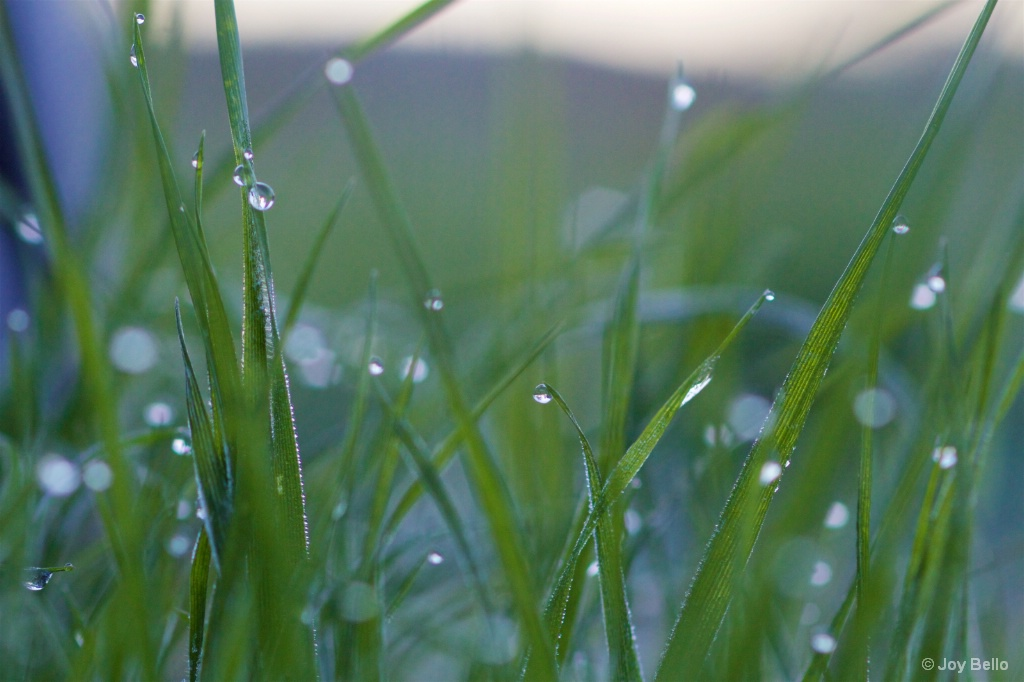 Dew-tipped Grass