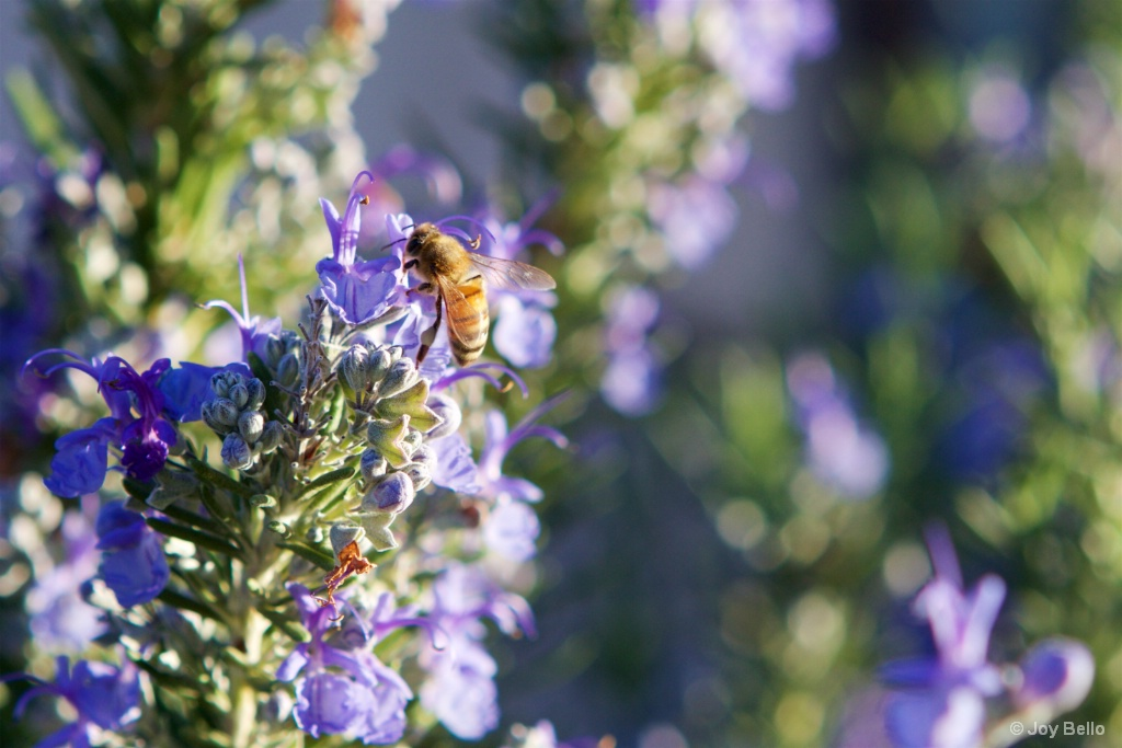 Honeybee on Rosemary