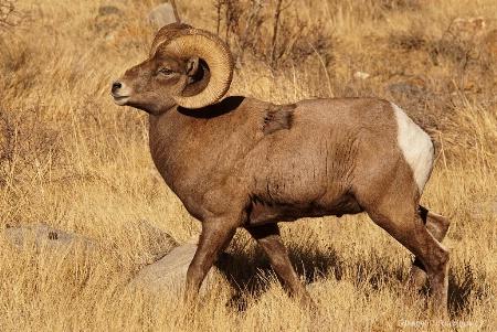 Dominant Ram
