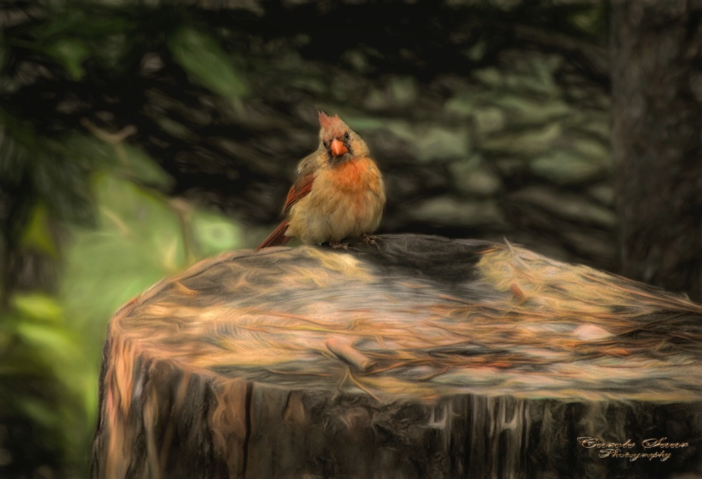 Mrs Cardinal on an old tree stump