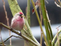Common Redpoll - Puget Sound