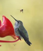Annas Humming Bird Honey Bee 028 2 1 2018 copy