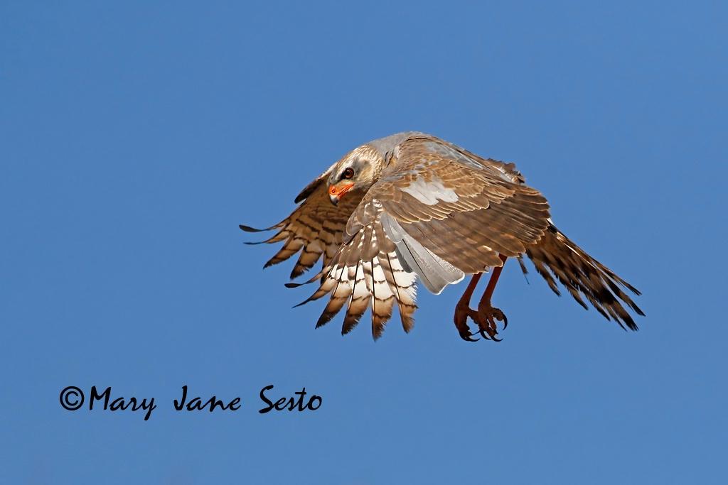 Pale Chanting Goshawk, South Africa - ID: 15518378 © Mary Jane Sesto