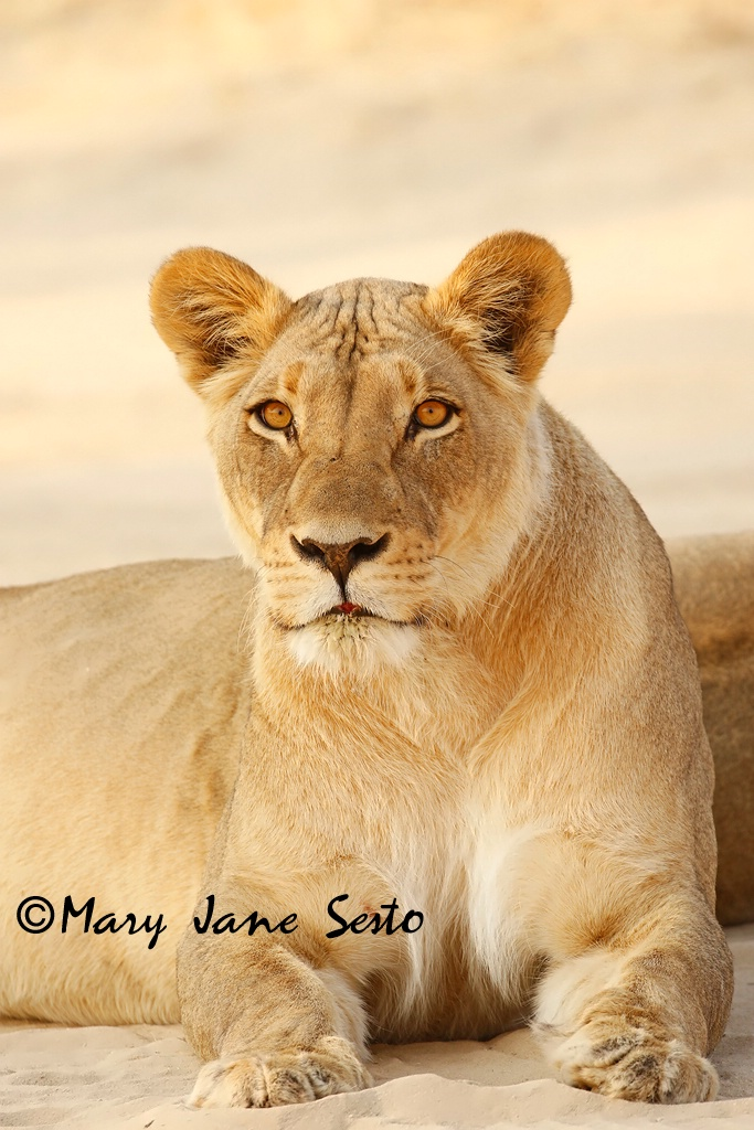 Lioness, South Africa - ID: 15518379 © Mary Jane Sesto