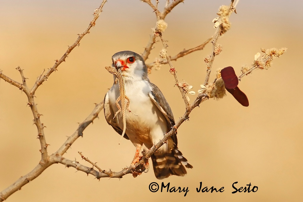 Pygmy Falcon with Lizzard, South Africa - ID: 15518381 © Mary Jane Sesto