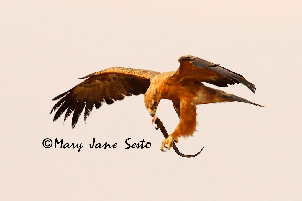 Tawny Eagle with Black Mamba, South Africa - ID: 15518382 © Mary Jane Sesto