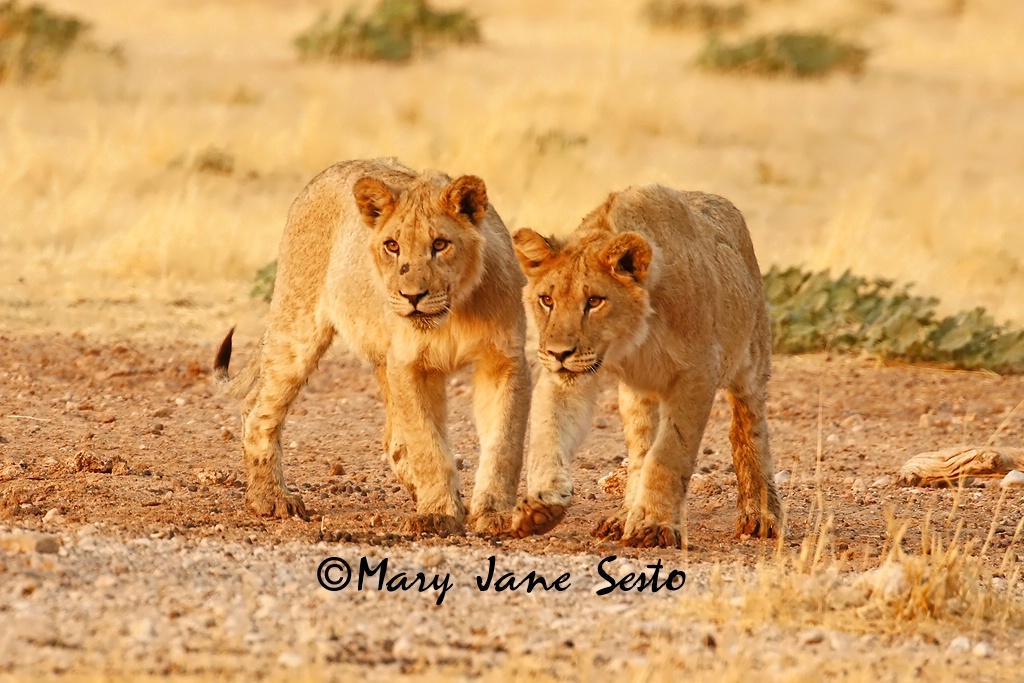 Young Lions playing, South Africa - ID: 15518384 © Mary Jane Sesto