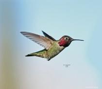 Annas Humming Bird 100028 2 7 2018