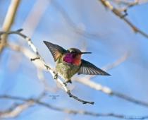 Annas Humming Bird 100022 2 7 2018