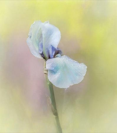 Sunshine Iris
