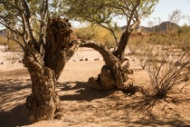 Ironwood Trees Arch in the AZ Desert