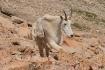 Mountain Goat Cli...
