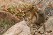 Ground Squirrel H...
