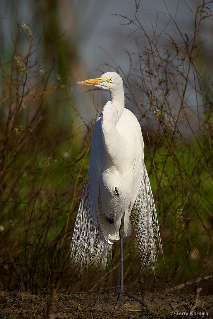 Great Egret - ID: 15520694 © Terry Korpela