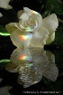 Gardenia Reflecti...