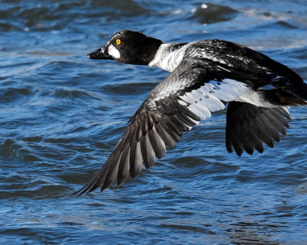 Fly-by of the Goldeneye Drake