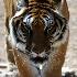 © Judy Rae PhotoID# 15522034: Bengal Tiger 1