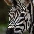 © Judy Rae PhotoID# 15522089: Zebra 1