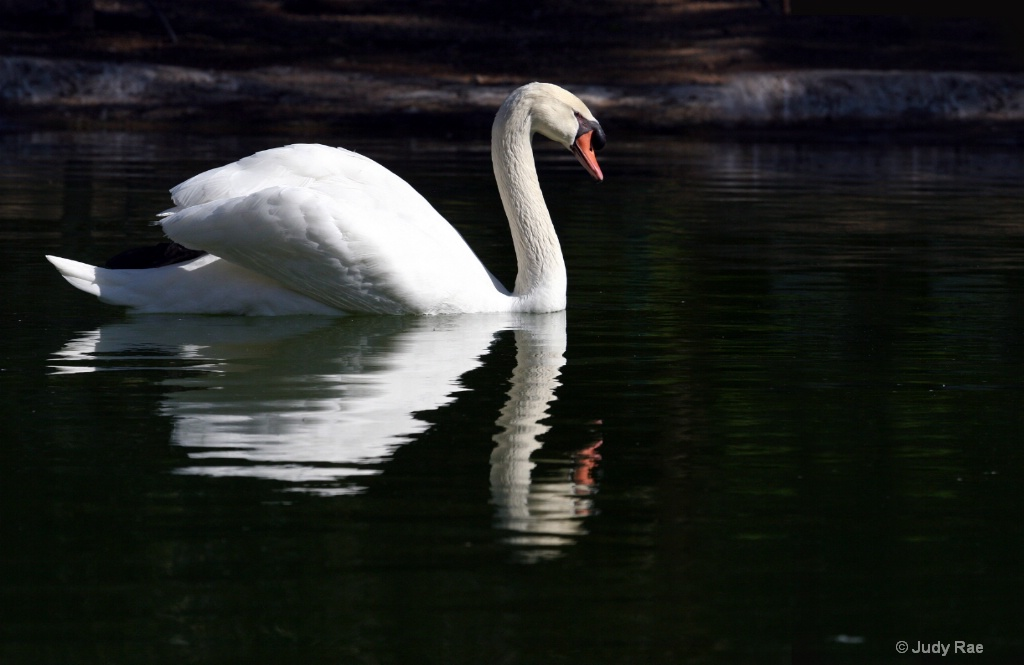 Swan Reflection - ID: 15522323 © Judy Rae