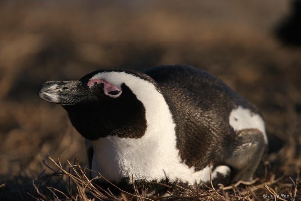 African Penguin (Jackass Penguin) 2 - ID: 15522367 © Judy Rae