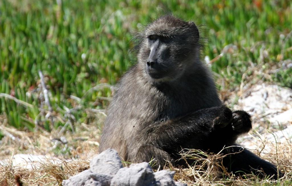 Chacma Baboon (Cape Baboon) 5 - ID: 15522368 © Judy Rae