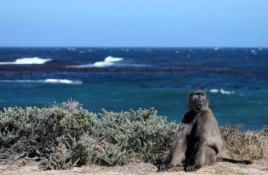Chacma Baboon (Cape Baboon) 2 - ID: 15522371 © Judy Rae