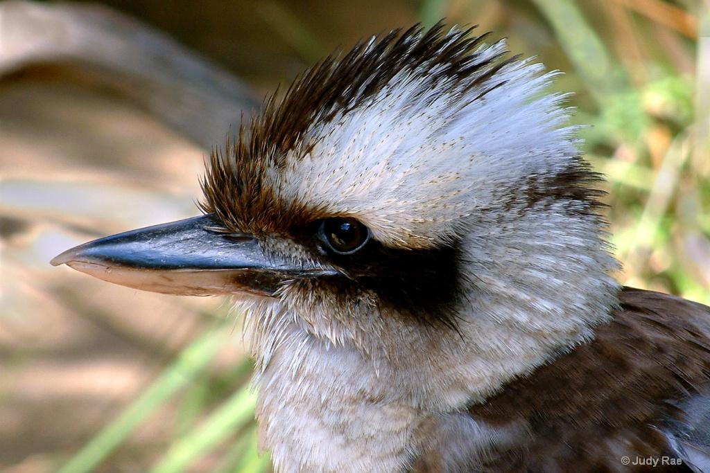 Kookaburra - ID: 15522401 © Judy Rae