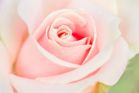 A Rose in Pink