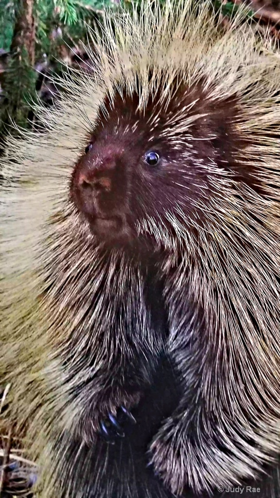 North American Porcupine - ID: 15529905 © Judy Rae