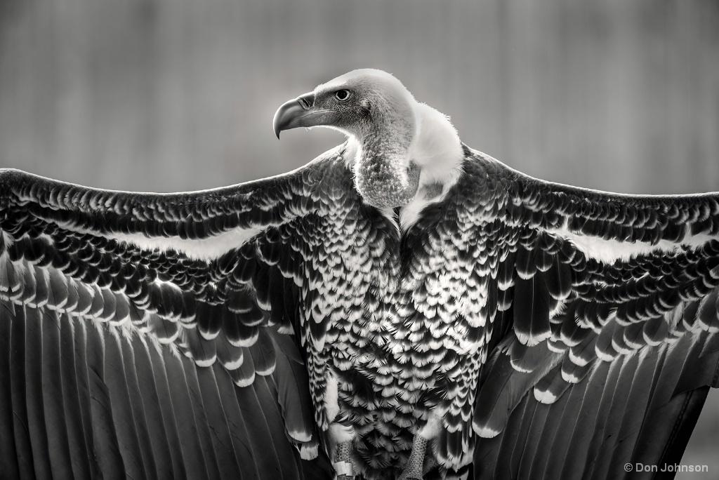 B&W Griffon Vulture 2-20-18 067 - ID: 15529987 © Don Johnson