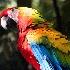 © Judy Rae PhotoID# 15530235: Scarlet Macaw