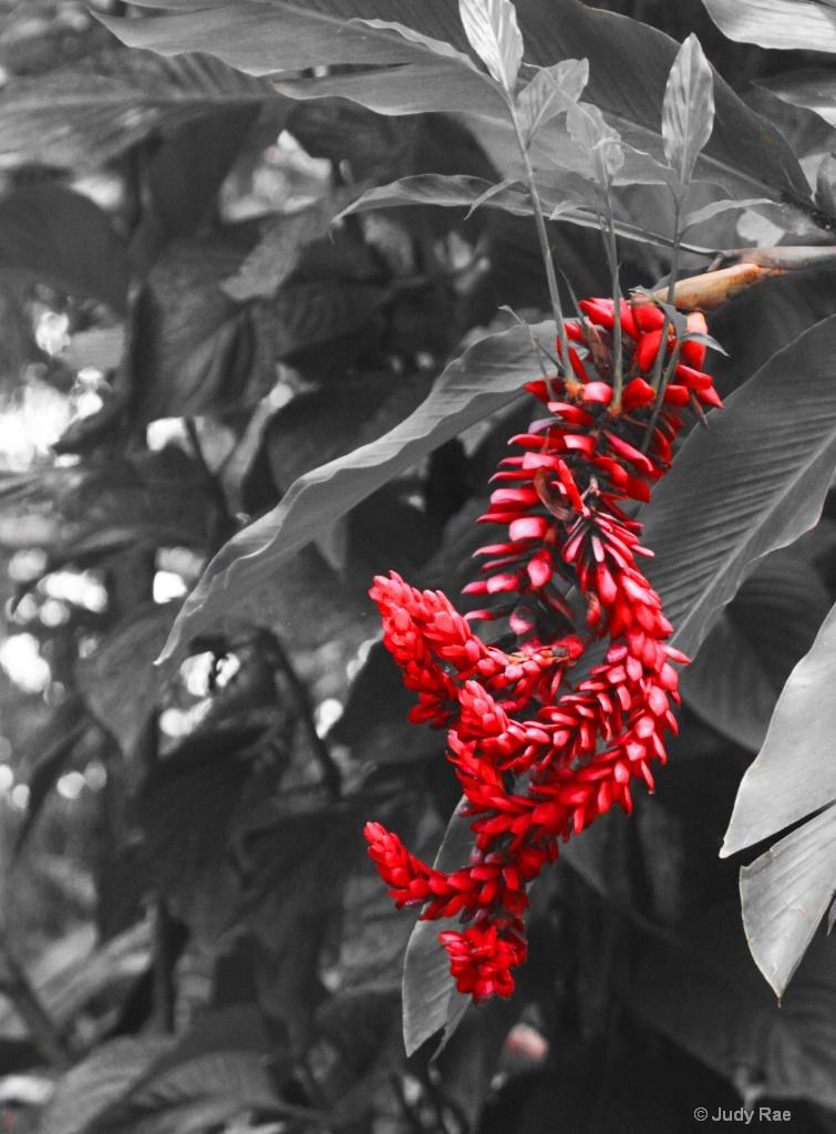 Ginger Blossom Flower - ID: 15530252 © Judy Rae