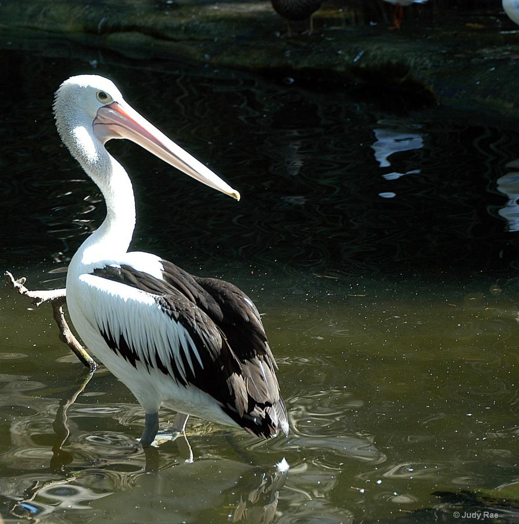 Pelican - ID: 15531088 © Judy Rae