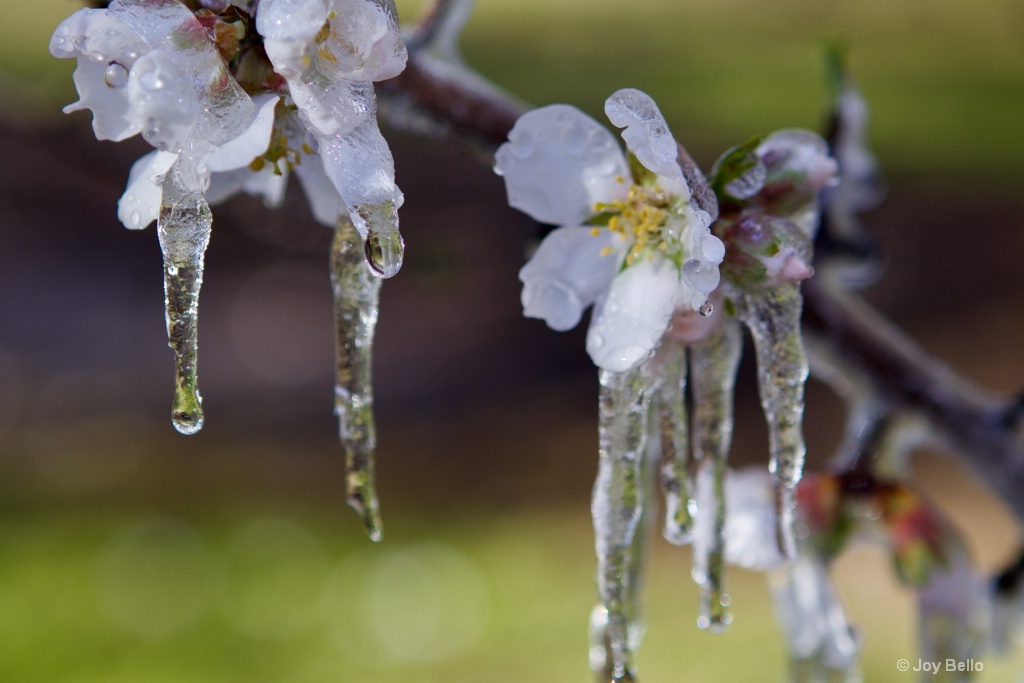 Icy Flowers