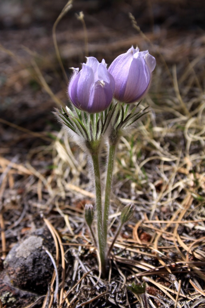 Colorado Wildflower - ID: 15531109 © Judy Rae