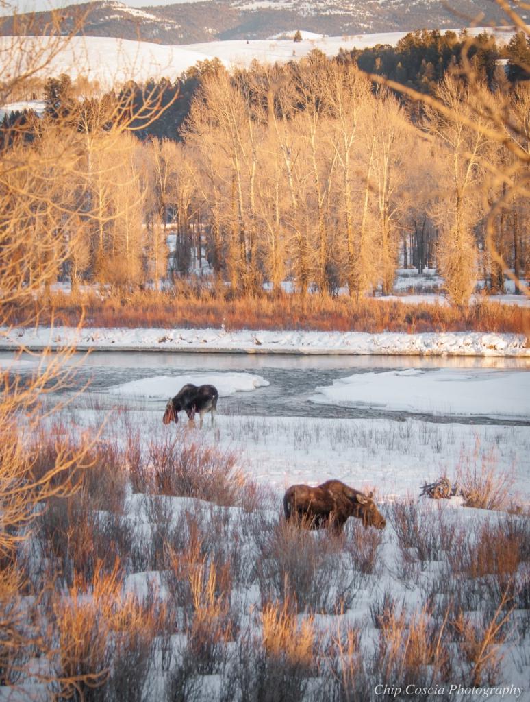 Moose in Snow - ID: 15534149 © Chip Coscia