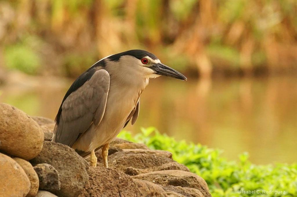 Night Heron's Pond