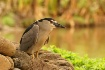 Night Heron's...