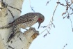 Flicker Pecker