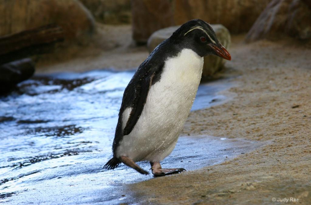 African penguin (Jackass Penguin) - ID: 15541813 © Judy Rae