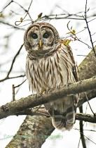 Barred Owl, North Carolina
