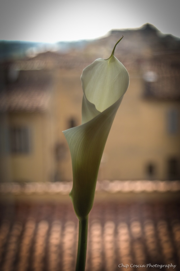 Calla Lily In Florence, Italy - ID: 15543220 © Chip Coscia
