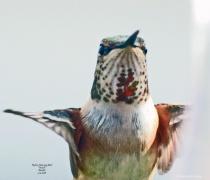 Rufous Humming Bird Female Q10026 3 13 2018