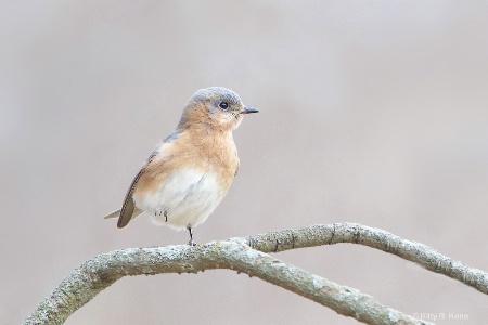 Bluebird with Raised Foot