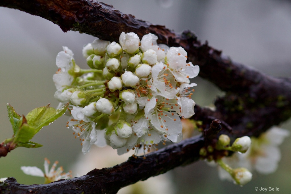 Plum Blossoms in the Rain