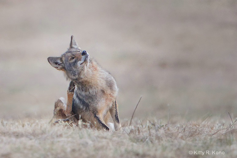 Itchy Coyote - ID: 15546332 © Kitty R. Kono