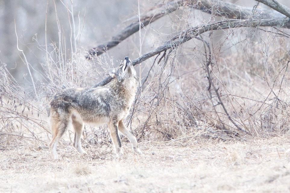 Coyote Looking Up - ID: 15546337 © Kitty R. Kono