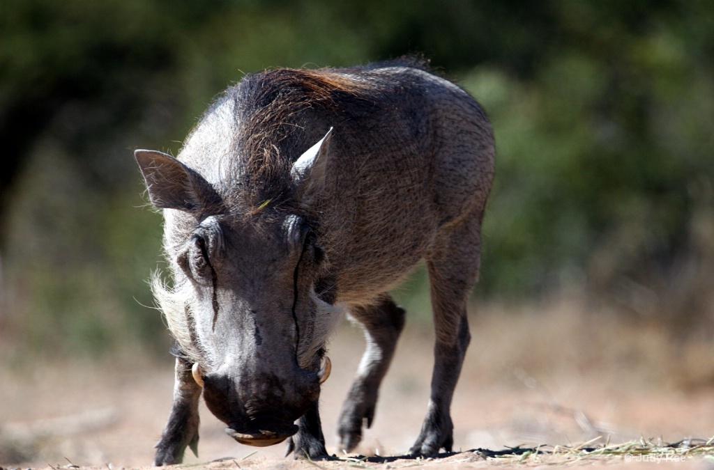 Warthog - ID: 15547779 © Judy Rae