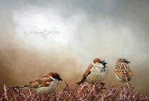 Sparrows Three